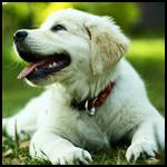 Аватар Белый щенок лежит на траве
