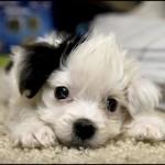 Аватар Маленький щенок с черным ухом